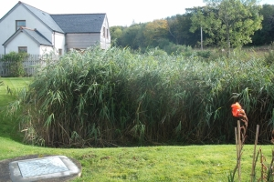 Purclewan 3 reedbed summer