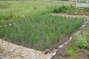 Reedbed_for_2_houses_3_months_old