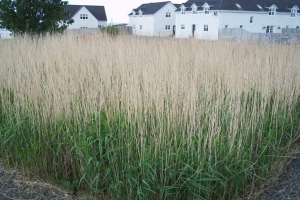 Reedbed_in_early_summer
